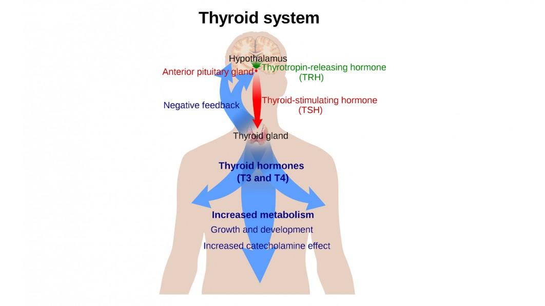 Umpirauhaset ja hormonit