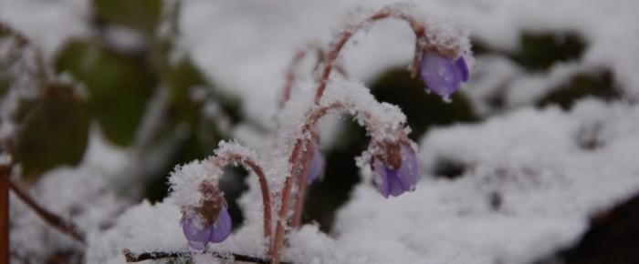 Kevät keikkuen tulevi