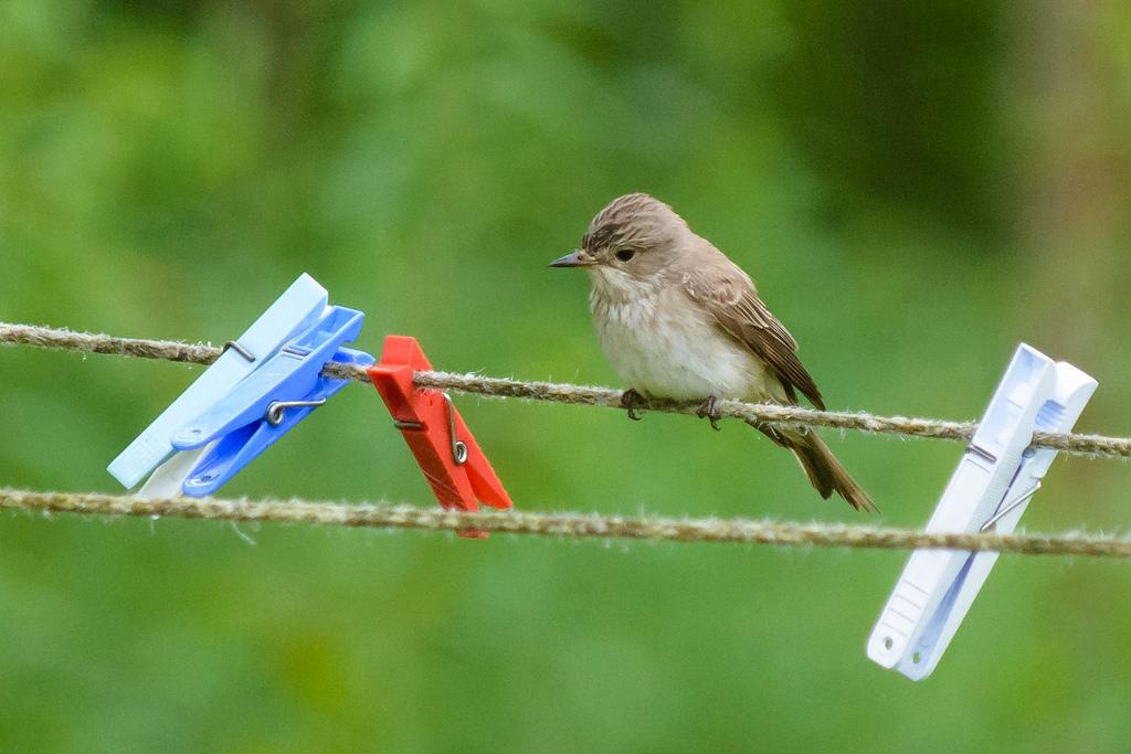 Linnut suuruusjärjestykseen